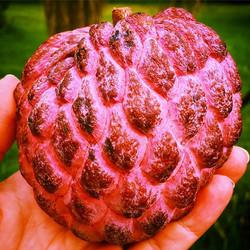 Red Sugar Apple (sweetsop, Annona, Atis, sitaphal, etc) #sugarapple #sitaphil #annona #annonasquamos