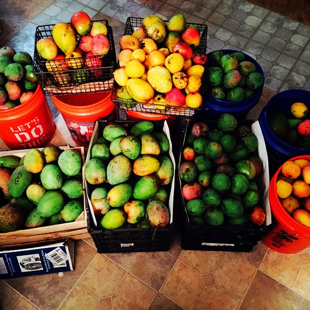 It's mango time! We picked these beauties on the island yesterday, they'll be for sale Saturday at t