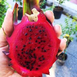Red Dragon Fruit #fruit #cactus #tampa #tasty #tropical #tampagreen #thewildguava #grow #garden #gor