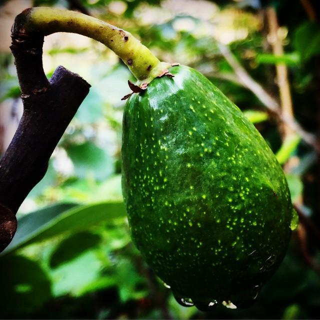 Baby Mexicola Avocado #avocado #mexicola #veggiebutter #thewildguava #eathealthy #exoticfruit #edibl