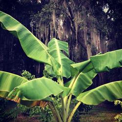 African Giant banana in the orchard #banana #bigplant #bigtree #tropicalorchard #giantbanana #africa