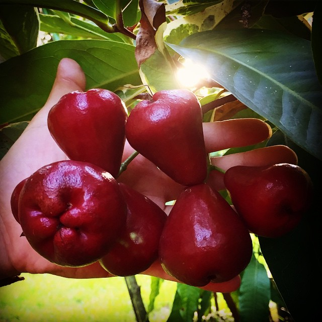 Red Wax Jambu #jambu #waxjambu #rosewaterapple #syzigium #rarefruit #tropicalfruit #exoticfruit #the