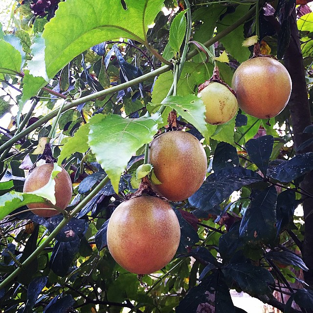 Passion fruit, almost ripe! #passionfruit #fruit #fresh #florida #tampa #tasty #tropical #thewildgua