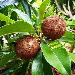 Variegated Sapodillas #rarefruit #sapodilla #naseberry #variegated #chiku #nispero #brownsugarpear #