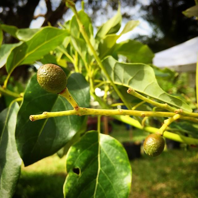 Baby Dwarf Wurtz Avocados! #avocado #Wurtz #dwarfavocado #thewildguava #guacamole #dwarffruittree #f