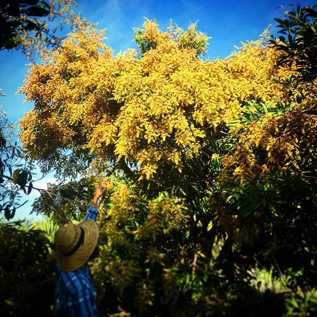 Cogshall Mango in our grove flowering like crazy! #mangoesarecoming #thewildguava  #inthegrove #cant