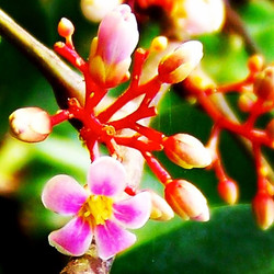 Carambola (star fruit) flower #carambola #Starfruit #grow #green #garden #gorgeous #growfood #flower