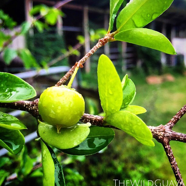 Baby Acerola Cherry, aka Barbados Cherry #acerola #barbadoscherry #tropicalcherry #tropicalfruit #th