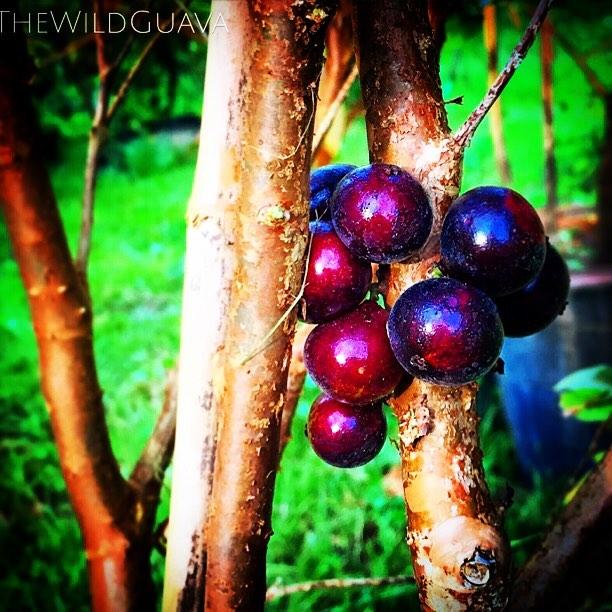 Red Jaboticaba ripening up! #redjaboticaba #jaboticaba #braziliankissinggrape #cauliforustree #fruit