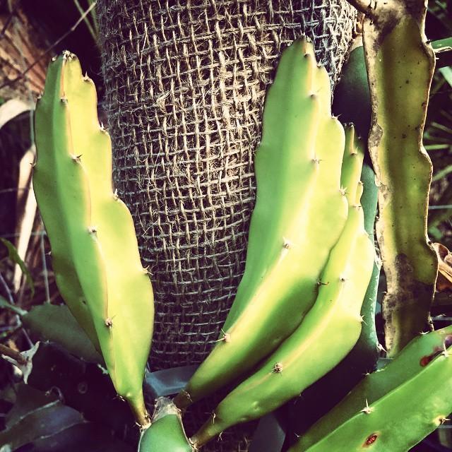 New growth on a dragon fruit snuggling into it's burlap tower! #dragonfruit #pitaya #newgrowth #burl