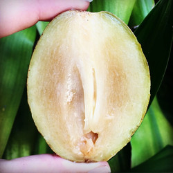 'Silas Woods' white fleshed Sapodilla, for sale this weekend! Saturday_ North Tampa Market, Carrollw