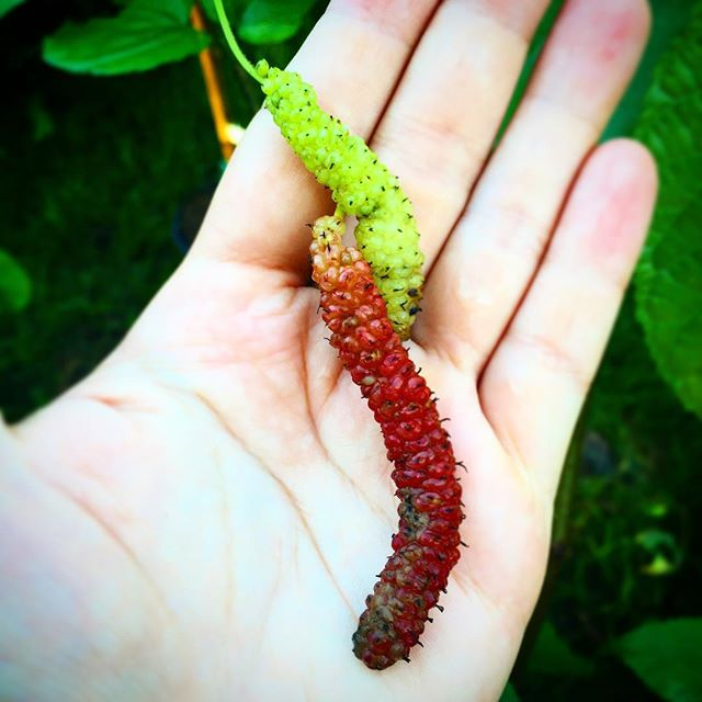 'Pink Himalayan' and 'Green' mulberries #mulberries #mulberry #pinkandgreen #pinkhimilayan #rarefrui