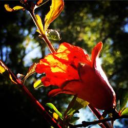 Florida sunset through a pomegranate petal #pomegranate #petal #pomegranateflower #sunset #florida #