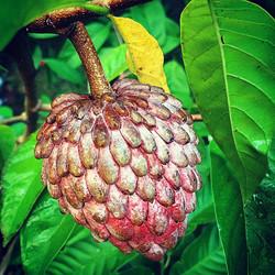 Kampong mauve sugar apple #fruit #fresh #homegrown #thewildguava #tropical #tasty #colorful #growfoo