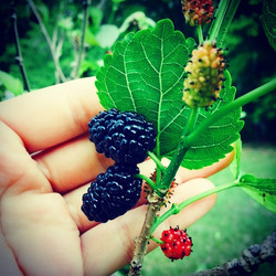 Mulberries!!! #mulberry #ripe #readytoeat #tasty #breakfast #fruit #cleaneating #delicious #florida