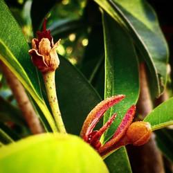 #sapodilla blooming! #chiku #zapota #naseberry #nispero #brownsugarpear #tasteslikecaramel #flower #