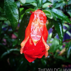 Vietnamese Red #pomegranate blooming! #springishere #tampa #southtampa #antioxidant #growfood