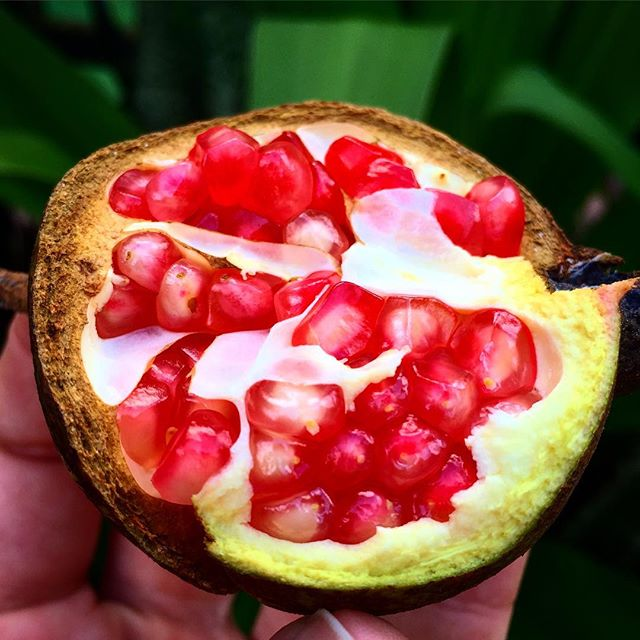 'Christina' Pomegranate, this hard seeded variety developed right here in Florida has a super sweet