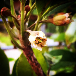 Hasya Sapodilla blooming #hasyasapodilla #sapodilla #nispero #chico #bloom #flower #flowerstagram #i