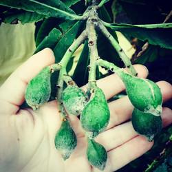 Baby Sherry Loquats (Japanese plums) #loquat #Fruit #Japaneseplum #thewildguava #florida #cleaneatin