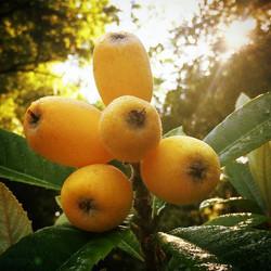 The majestic 'Bradenton' loquat #loquat #bradenton #thewildguava #tampa #tampabay #tropicalfruit #Ja
