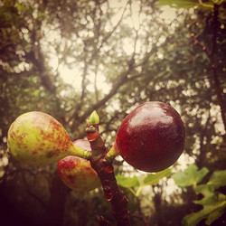 Early morning #figs