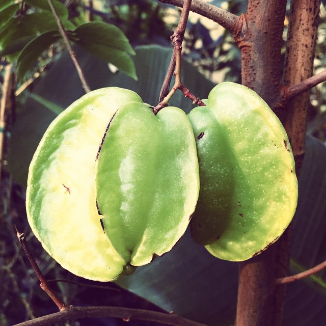 Young Fwang Tung carambola, they'll be white fleshed with green ribs when they're ripe! #whitestarfr