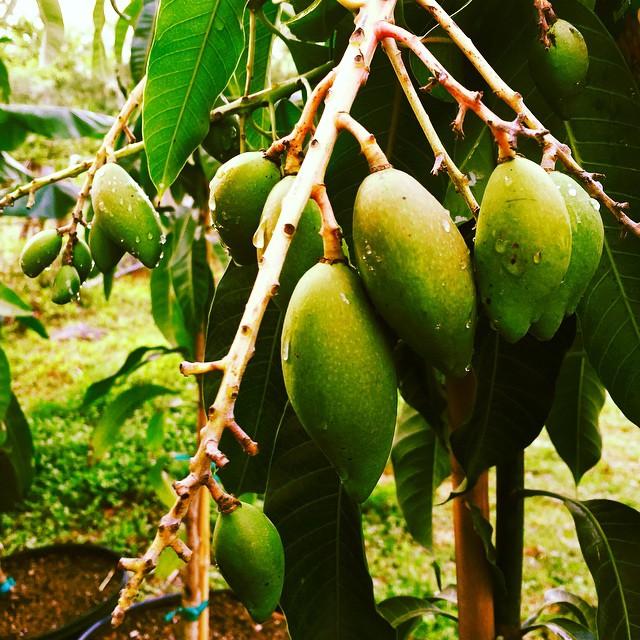 More mangoes! #mango #namdocmai #thewildguava #centralfl #cleaneating #thaimango #exoticfruit #exoti