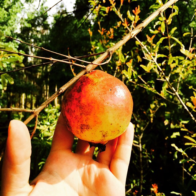 Vietnamese Red Pomegranate #pomegranate #pomme #antioxidents #thewildguava #centralfl #cleaneating #