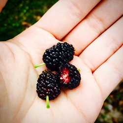 More mulberries #mulberry #cleaneating #berry #florida #foodforest #grow #green #gardenfl #garden #g
