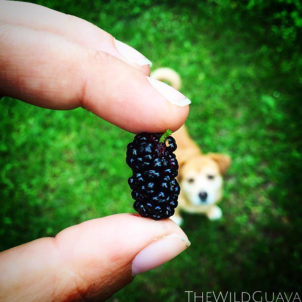 Spud is a big mulberry fan! #mulberry #farmdoglife #cleaneating #localfood #dogstagram #spud #goodbo