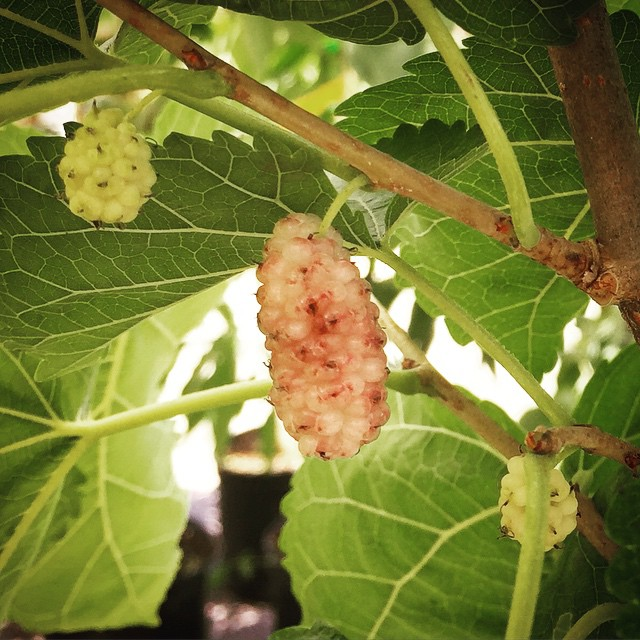 Ripe and developing White Mulberries, they get a blush of purple when they're ripe and taste like ca