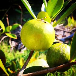 Lemon Cattley Guava enjoying the Florida  sunshine! #lemonguava #guava #cattleyguava #floridaguava #