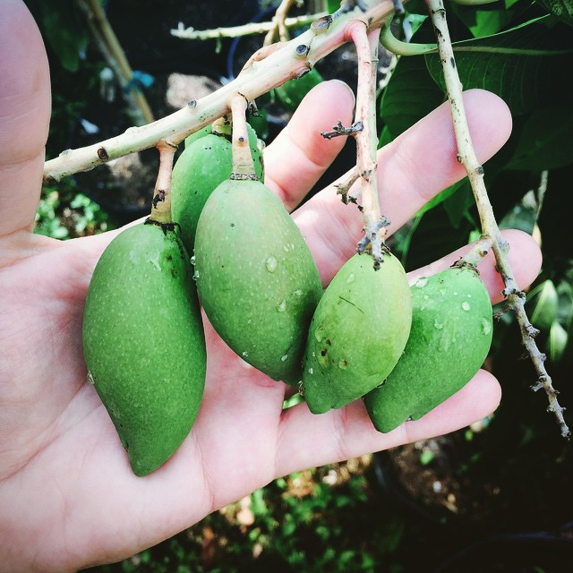 Baby Nam Daq Mai mangoes! #mangoes #thewildguava #namdocmai #namdaqmai #mango #mangos #centralfl #cl