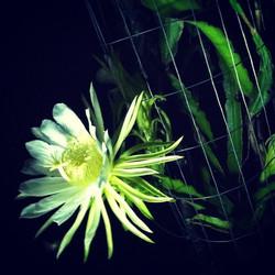 Dragon Fruit Flower #dragonfruit #pitaya #flower #florida #grow #green #garden #growfood #homegrown