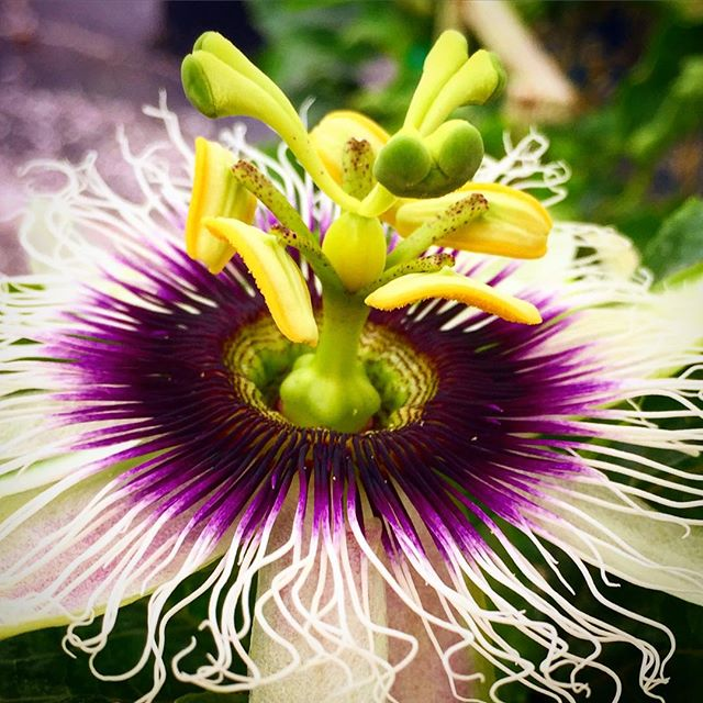 'Sweet Sunrise' passion fruit vine blooming! This Haitian variety produces a large, sweet yellow fru