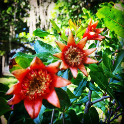 Trio of pomegranate blooms beginning to form fruit! #pomegranate #blooming #flower #centralfl #clean