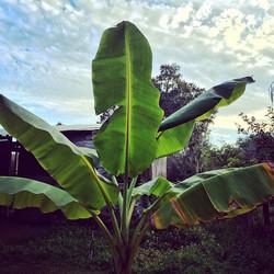 Banana #fruit  #fresh #florida #grow #growfood #banana #tree #plantcity #tampa #tropical #thewildgua