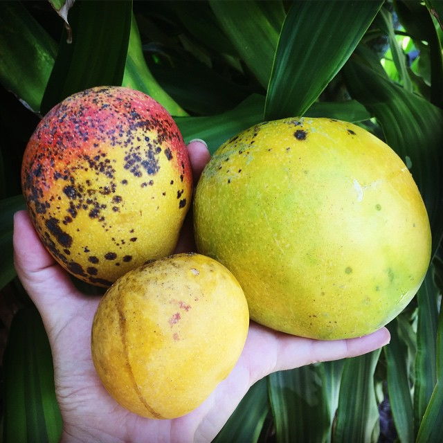 3 different Island Mangoes, all for sale this weekend along with fiberless Glenn, Valencia Prides an