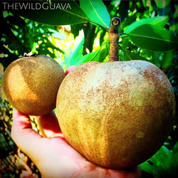 Starting to harvest these huge #sapodillas off our orchards! (regular sized sapodilla on the left fo