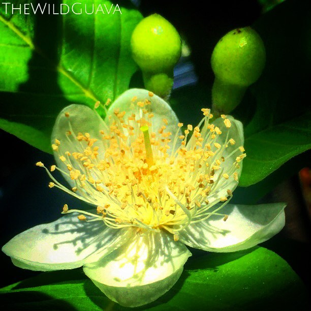 Guava flower #guava #thewildguava #guavaflower #blooming #floridagrown #flowerstagram #naturallygrow