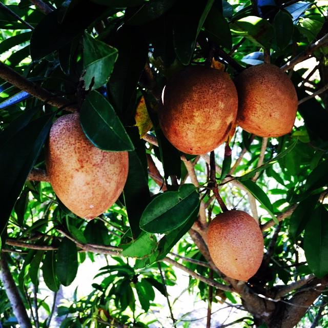 Sapodilla getting big in the grove! #sapodilla #nispero #chico #originalbubblegum #localfood #thewil