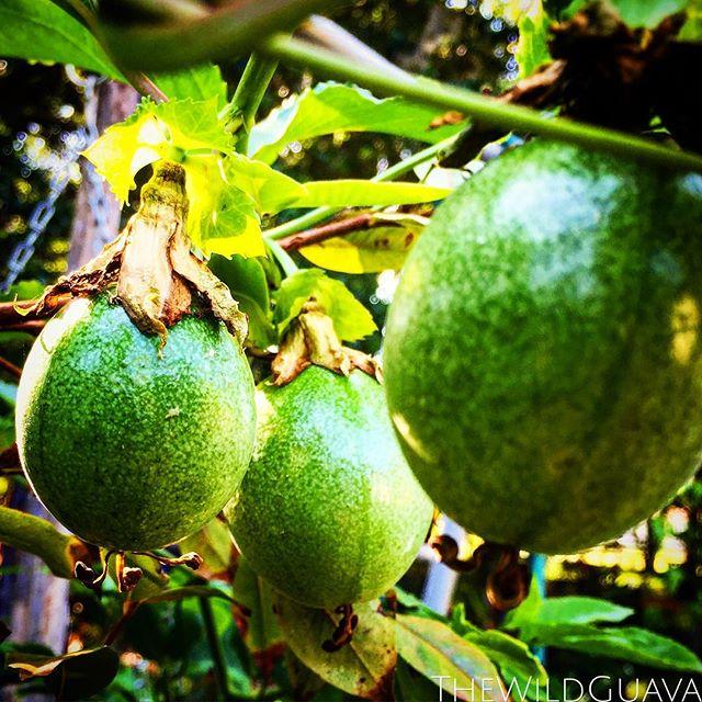 Young #passionfruit #tropicalfruit #floridasunshine #floridagrown #flgardening #gardenfl #thewildgua