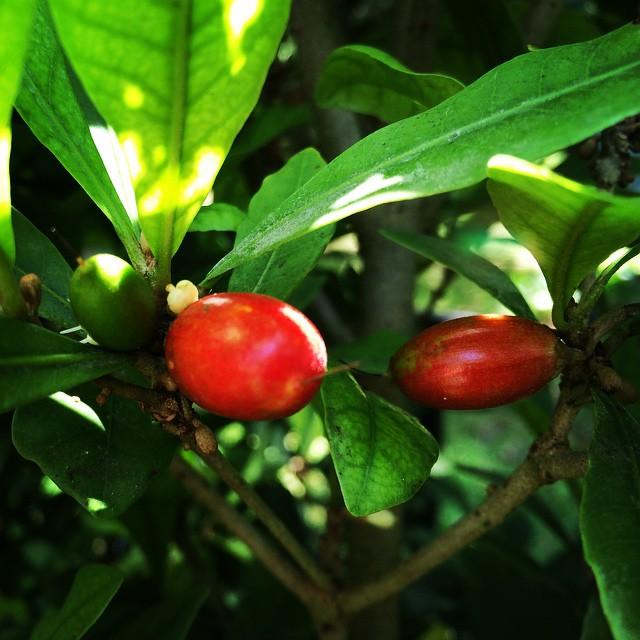 Miracle Fruit #miraclefruit #flavortripping #dulci #sourtosweet #cleaneating #fresh #fruit #florida