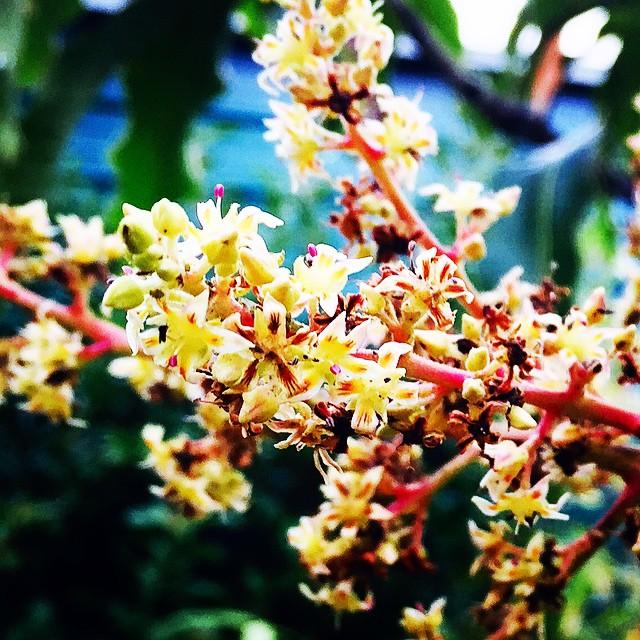 Lemon Zest Mango blossoms! #mango #lemonzest #mangoflowers #bloom #blossom #exoticfruit #flower #flo