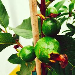 Baby Thai White Guavas #guava #thaiwhite #thaiwhiteguava #delicious #green #cleaneating #fruit #flor