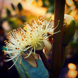 Cattley Guava Flower! These babies are starting to bloom and loaded with buds, come see them (and us