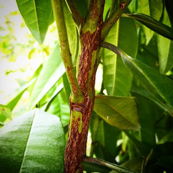 The wood of the allspice tree can be harvested and used to smoke veggies and meats, it's traditional
