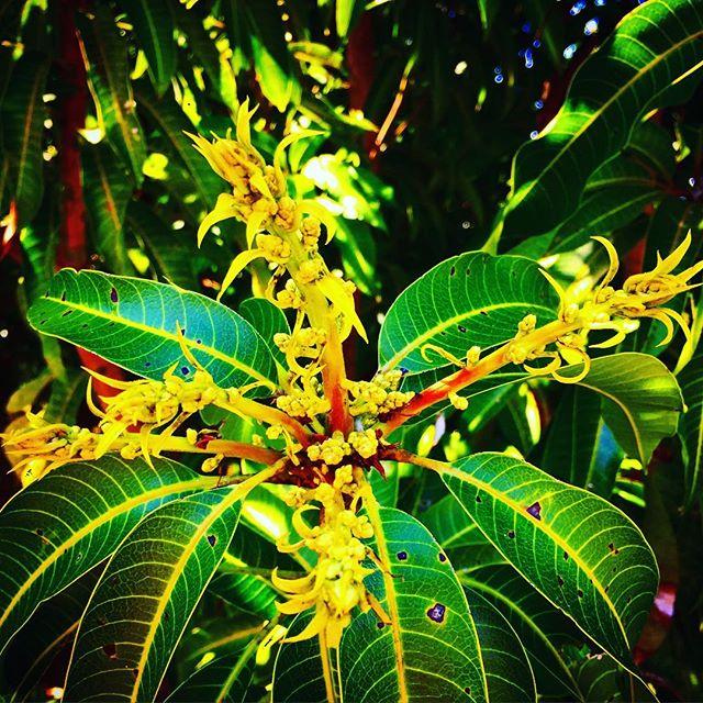 More mango flowers! #springishere #mangogrove #mangoflowers #thewildguava #locallyowned #locallygrow