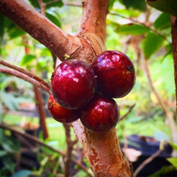 Shiny red Jaboticabas! The red is a faster fruiting variety than the traditional Purple Sabara #jabo